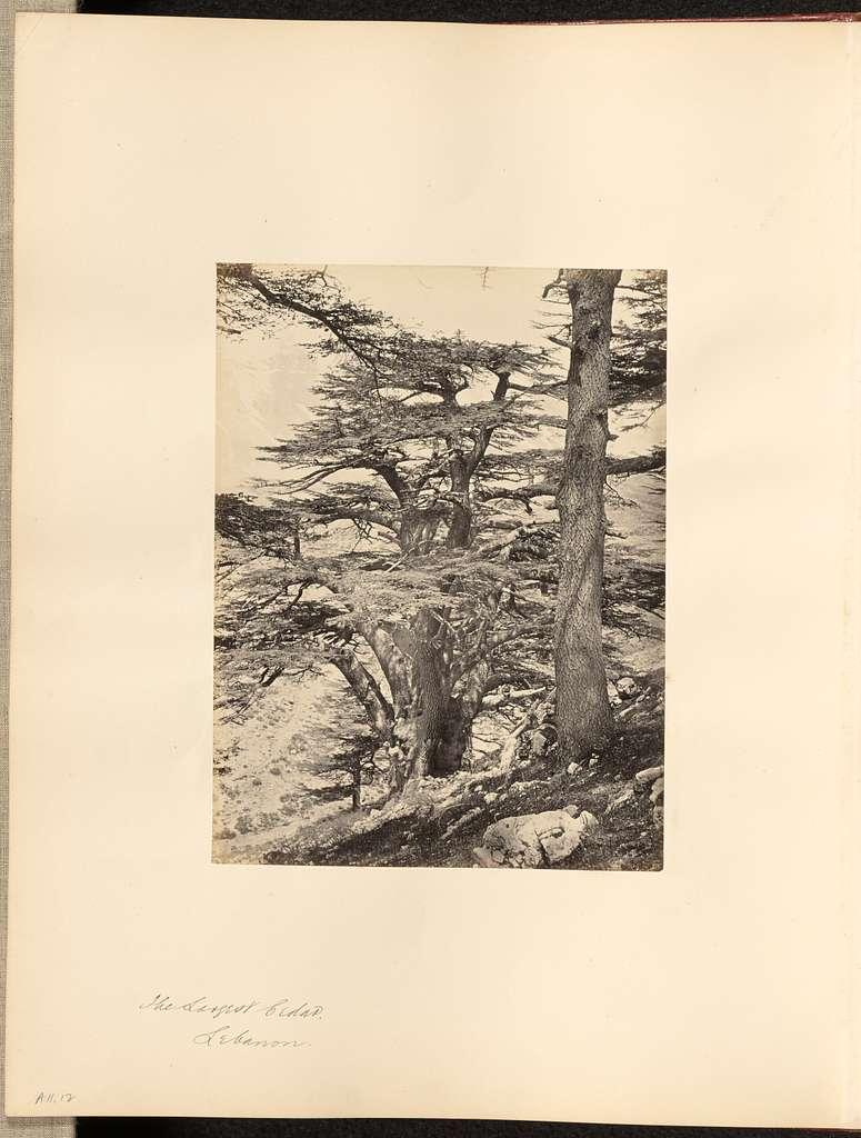 The Largest Cedar, Lebanon