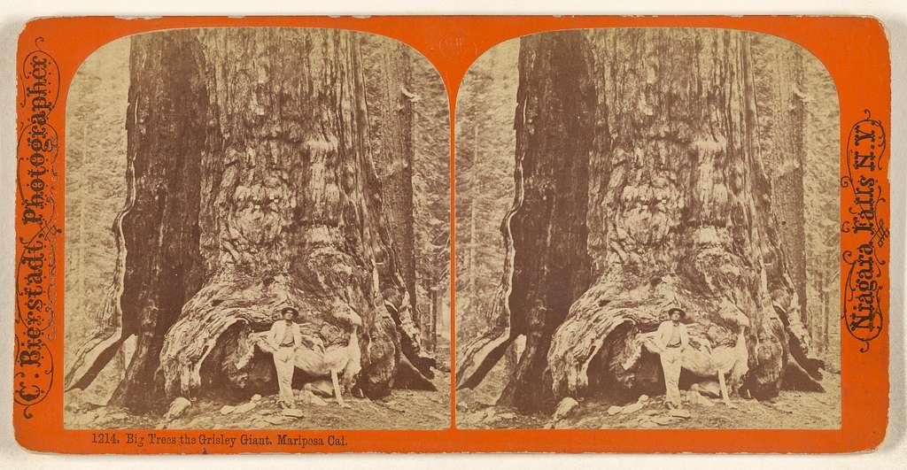 Big Trees the Grisley [sic] Giant, Mariposa Cal.