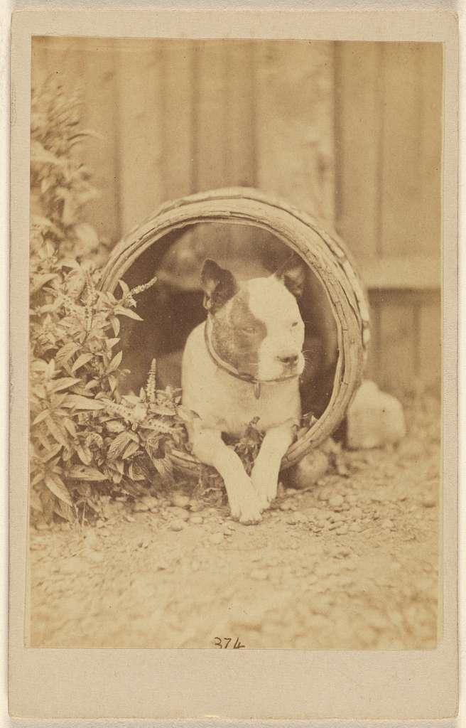 [Boston bulldog inside an open barrel]