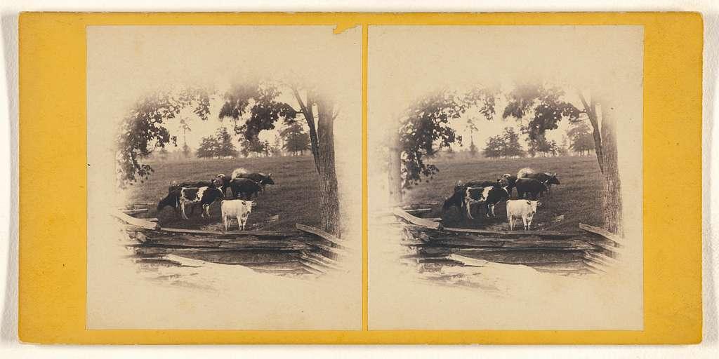 [Cattle near wooden fence]