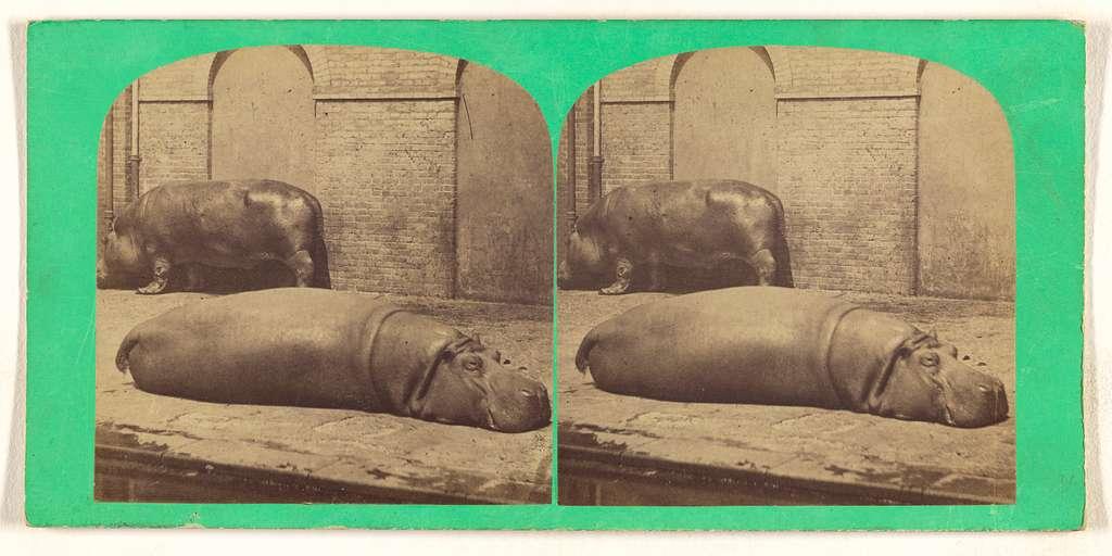 Hippopotamus, (male and female) Hippopotamus amphibius.