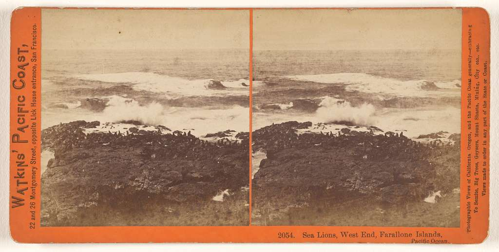 Sea Lions, West End, Farallone [sic] Islands, Pacific Ocean.