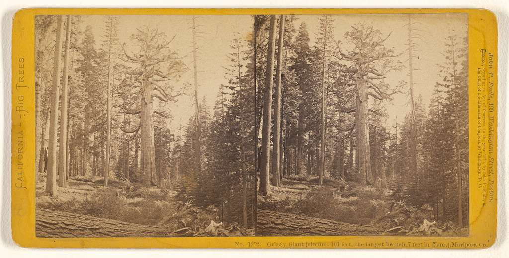 Grizzly Giant (circum. 101 feet, the largest branch 7 feet in diam.), Mariposa Co.