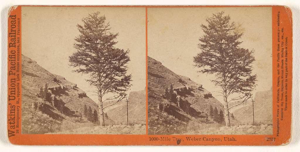 1000-Mile Tree, Weber Canyon, Utah.