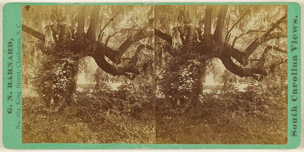 [Live Oaks, Magnolia Cemetery]