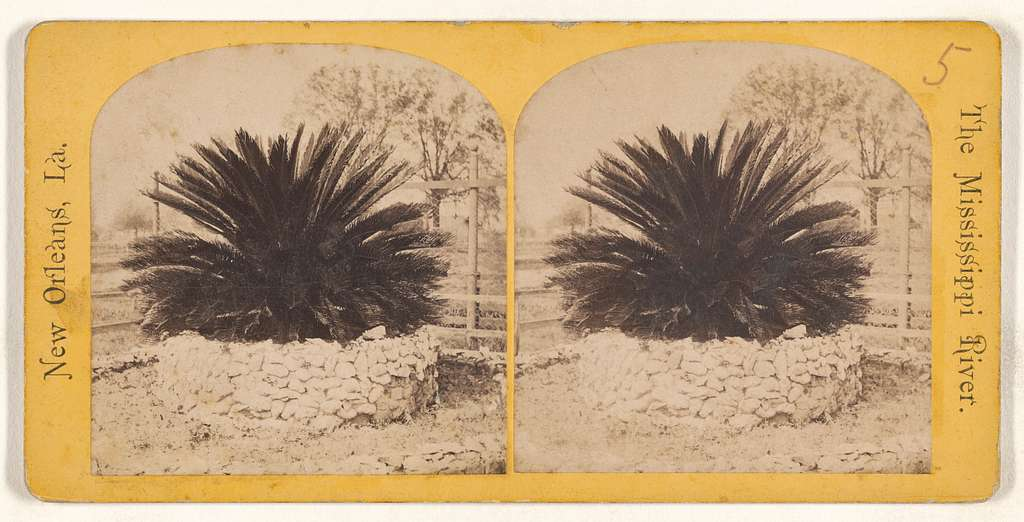 Sago Palm. [The Mississippi River. New Orleans, Louisiana.]