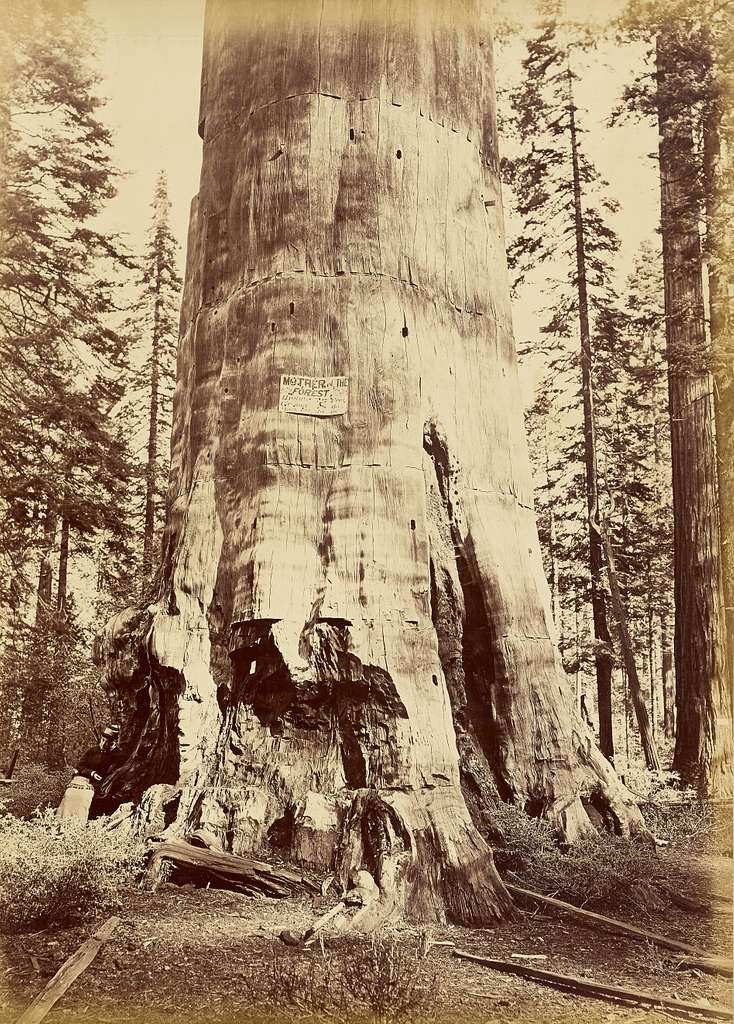 [Mother of the Forest, 221 feet high]